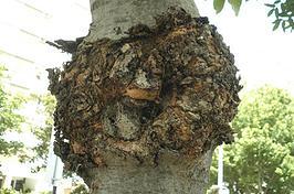 Biólogos fazem até ultrassom para checar saúde da árvore