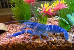 lagosta-azul
