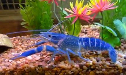 A lagosta azul