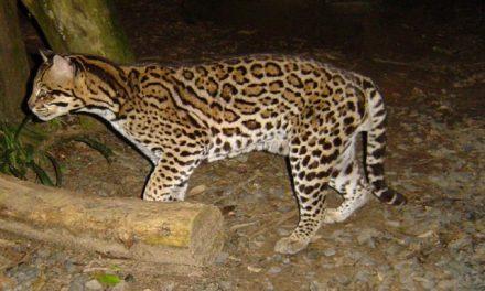 Biólogo critica proposta de caça a animais silvestres