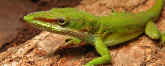 Lagarto predador é encontrado na Baixada Santista