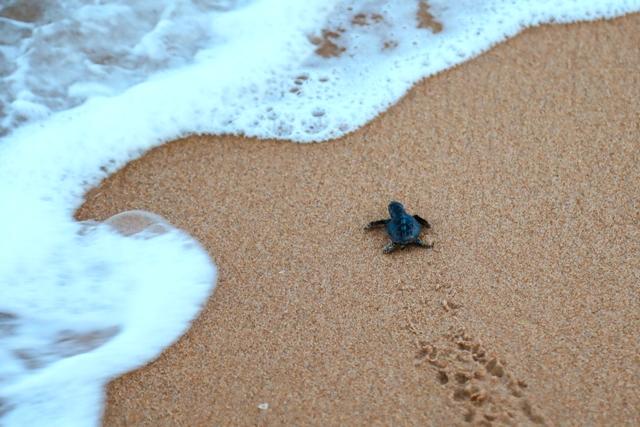 As tartarugas protegidas de Maceió