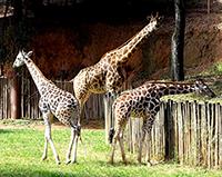 Zoológico de Itatiba ganha duas girafas