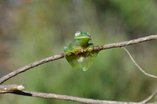 Anfíbio identificado já está em risco de extinção