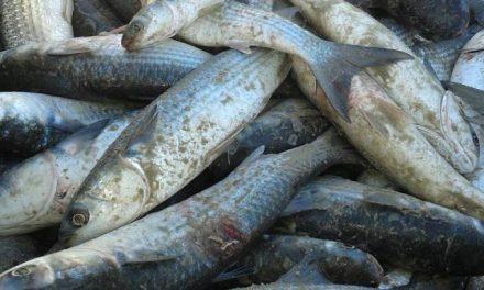 Pesca da tainha movimenta Santa Catarina