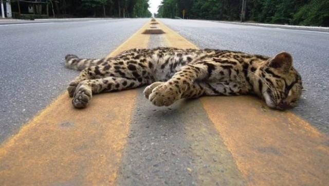 Um milhão de animais são atropelados por dia