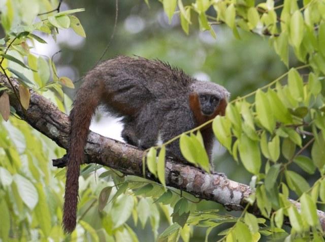 Em dois anos, Amazônia revela 20 novos mamíferos