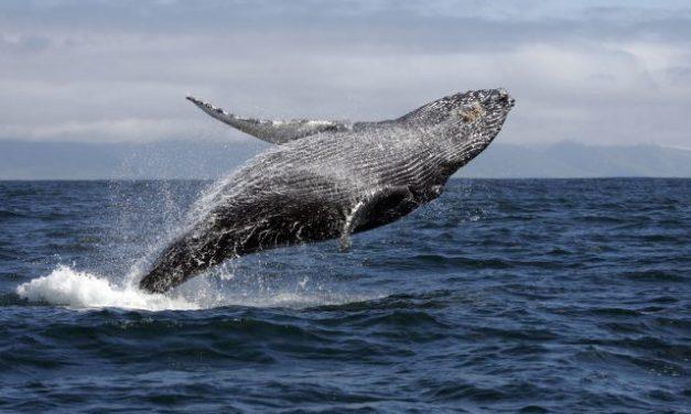 Baleias jubarte visitam Ilha Bela