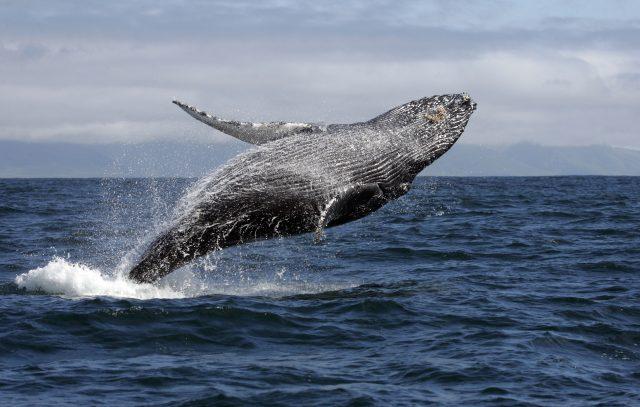 Conheça esse cetáceo que encanta tantas pessoas pelo mundo