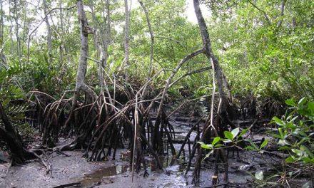 Conhecendo manguezais