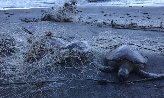Rede de pesca mata tartarugas em Caraguá