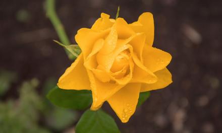 As rosas não falam, mas precisam ser bem tratadas