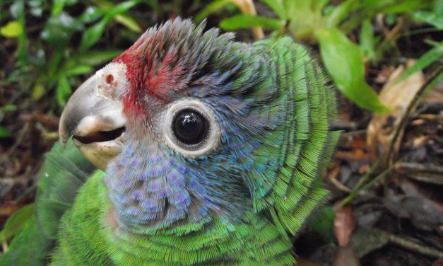 Papagaio de presente de Natal. Pode?