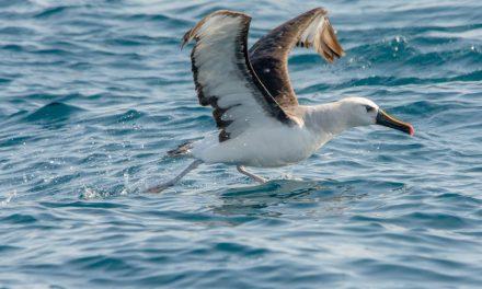 Bando de albatrozes revoa litoral do Rio