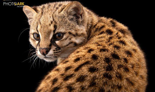 Gato-selvagem flagrado no Chile