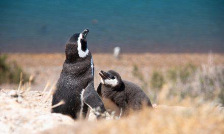 Pinguins-de-magalhães nas praias paulistas: de onde eles vêm?