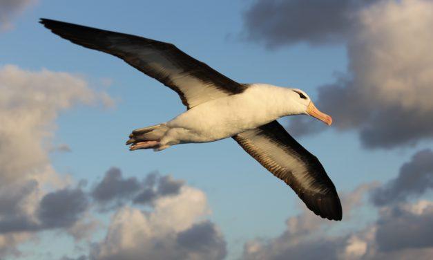 Preservando o vôo majestoso no oceano