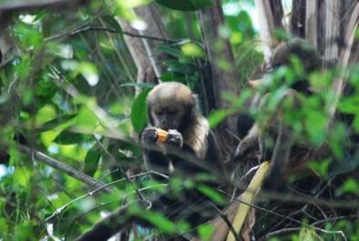 Caça afeta o comportamento de macacos