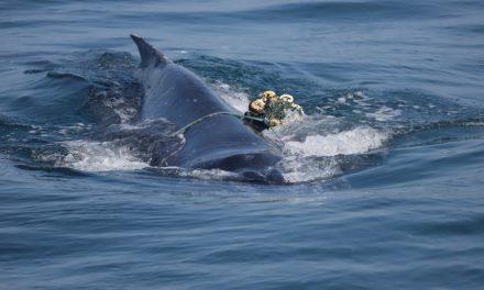 Brasil registra recorde de baleias mortas